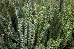 Myrtle plant, Myrtus communis background Royalty Free Stock Photo