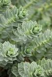 Myrtle Spurge - Euphorbia myrsinites Stock Photos