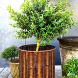 Myrtle tree in a rusty basket. Vintage style garden decoration royalty free stock image