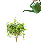 Myrtle tree and watering pot isolated on white Royalty Free Stock Photos