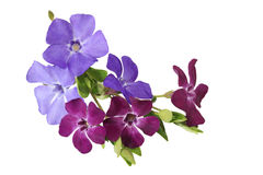Myrtle Vinca Flowers. Bundle of myrtle periwinkle flowers isolated on white stock image