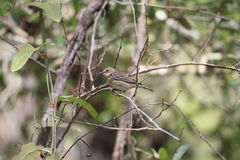 Myrtle Warbler Stock Photography