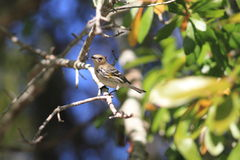 Myrtle Warbler. (Setophaga coronata) in Florida, North America stock images