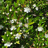 Myrtus Royalty Free Stock Photography
