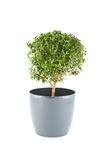 Myrtus Stock Photo