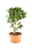 Myrtus royalty-vrije stock foto's