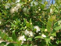Myrtus blossom Royalty Free Stock Photography