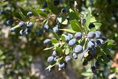 Myrtus communis с плодами, общий мирт стоковое фото