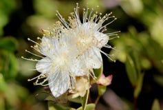 Myrtus communis ` Compacta Variegata `, Geschakeerde compacte Mirte Royalty-vrije Stock Fotografie