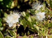 ` Myrtus communis ` Compacta Variegata, veränderte kompakte Myrte lizenzfreie stockfotos