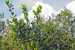 Myrtus communis, die gemeine Myrte, Familie Myrtaceae stockbilder