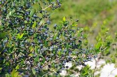 Myrtus communis, el mirto común, Myrtaceae de la familia Foto de archivo