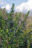 Myrtus communis, il mirto comune Fotografia Stock Libera da Diritti