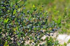 Myrtus communis, il mirto comune Immagini Stock