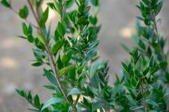 Myrtus eller myrten som växer på kibbutzkolonin arkivbilder
