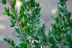 Myrtus eller myrten som växer på kibbutzkolonin royaltyfri foto