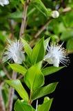 Myrtus myrtle. Plantae Angiosperms Eudicots Rosids Myrtales Myrtaceae. Closeup royalty free stock images
