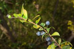 Myrtus purple Royalty Free Stock Photography