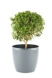 Myrtus tree Royalty Free Stock Photo