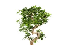 Myrtus tree Stock Photos