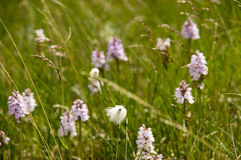 Myrull wild cotton and Dactylorhiza maculata wild orchids Stock Photo