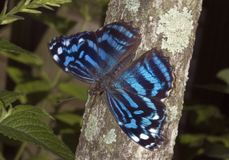 Myscelia Butterfly. Shot taken in south Florida Stock Photos