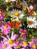 Mysikrólika motyl na chrusanthemum w jesień ogródzie obraz royalty free