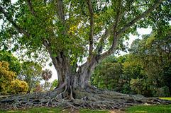Mysore Fig Tree. A large heathy example of the Mysore Fig Tree also known as  Ficus Mysorensis  located in Ft Myers Florida Royalty Free Stock Photography