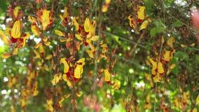 Mysore trumpetvine thunbergia mysorensis high definition footage clip. Thunbergia mysorensis, also called Mysore trumpetvine or Indian clock vine, high stock video