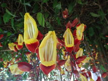 Mysorensis del Thunbergia de la vid del reloj Fotos de archivo