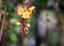 Mysorensis del Thunbergia, o trumpetvine de Mysore foto de archivo