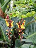 Mysorensis do Thunbergia, a videira indiana do pulso de disparo Fotografia de Stock Royalty Free