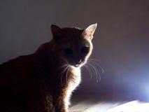 Mysteriöser orange Ginger Fat Cat im Schattenbild Lizenzfreie Stockbilder