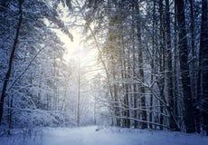 Mysteriöser Winterwald im dunkelblauen farbigen Wald stockfoto