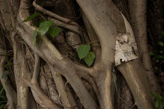Mysterious Asian Tree Roots Detail Horizontal Royalty Free Stock Photo