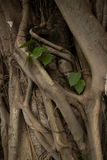 Mysterious Asian Tree Roots Detail with Leafy Plant Royalty Free Stock Photo