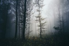 Mysterious atmosphere in the haunted woods with fog. Mysterious atmosphere in the haunted enchanted woods on Halloween. Mysterious forest background with fog royalty free stock photography