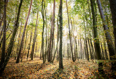 Mysterious autumn forest landscape with sunbeams Stock Photography