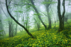 Mysterious beautiful forest in fog with green leaves and yellow Stock Images