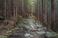 Mysterious beautiful  forest with mossy stones Stock Photography