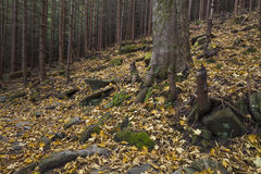 Mysterious beautiful  forest with mossy stones Royalty Free Stock Photos