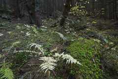 Mysterious beautiful  forest with mossy stones Royalty Free Stock Photography