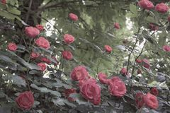 Defocused soft pink rose flowers and branches with leaves on a blurred background. Mysterious beautiful garden landscape. Defocused soft pink rose flowers and royalty free stock photo