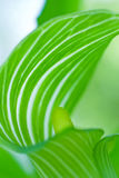 Mysterious beautiful green leaf. Royalty Free Stock Photography