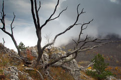 Mysterious branches of dead tree. With a view of coming fog Royalty Free Stock Images