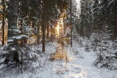 Mysterious Christmas forest. Late sunny Christmas morning in the forest at Saint-Petersburg region with trees under snow, sun beams like a cross and trails of Royalty Free Stock Photo