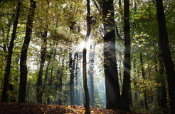 Mysterious dark autumn forest landscape with sunbeams Royalty Free Stock Image