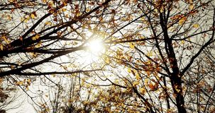Mysterious dark forest trees silhouette at sky sunset with sun flare rays flying through forest on nature background, concept. Of nature environment stock video footage