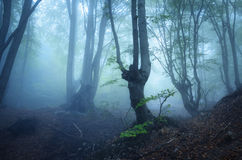 Mysterious dark old forest in fog. Autumn morning in Crimea Royalty Free Stock Photo
