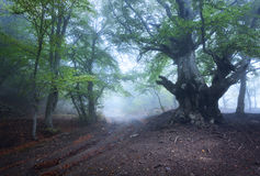 Mysterious dark old forest in fog. Autumn morning in Crimea Stock Images